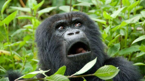 Когда пять минут до конца рабочего дня - смешное видео бегущей гориллы - Sputnik Ўзбекистон