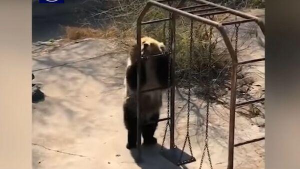 Мишка в зоопарке исполняет зажигательный танец - Sputnik Ўзбекистон