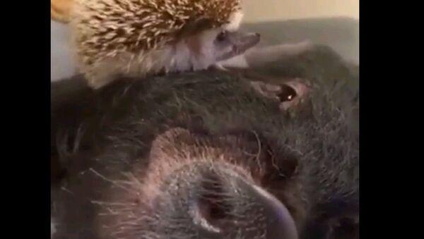 Дружба навек: как общаются поросята с ежиками - трогательное видео - Sputnik Ўзбекистон