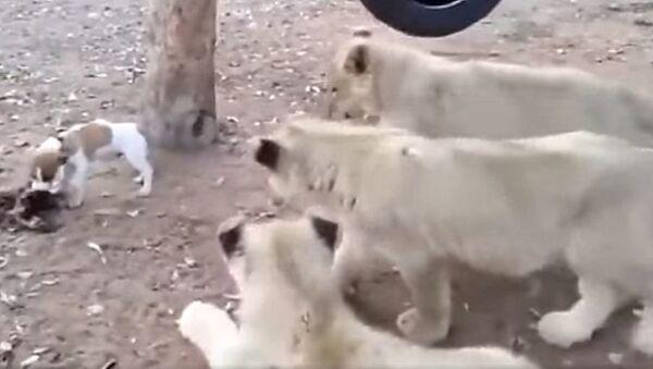 Подходи по одному: миниатюрный щенок раскидал трех львов  - Sputnik Узбекистан