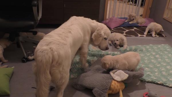 Собака за секунду успокоила семерых буйных щенков и удивила соцсети – видео - Sputnik Узбекистан