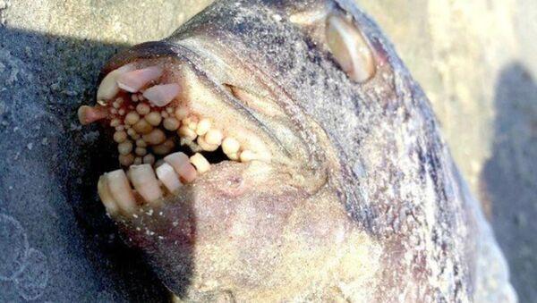 Рыбу с человеческими зубами нашли на пляже в США - Sputnik Узбекистан