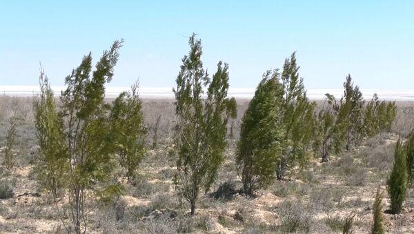 На дне Аральского моря высадили первые деревья для борьбы с опустыниванием - Sputnik Ўзбекистон