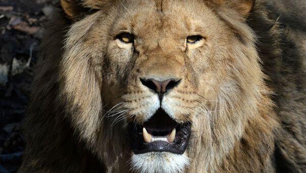 Соревнования по перетягиванию каната с участием львов в Приморском сафари-парке - Sputnik Ўзбекистон