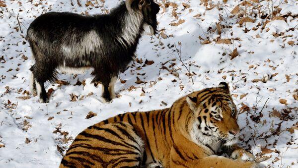 В Приморском Сафари-парке амурский тигр подружился с козлом - Sputnik Узбекистан