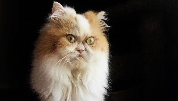 Новый Grumpy Cat: в Сети нашли еще одного сердитого кота - видео - Sputnik Узбекистан