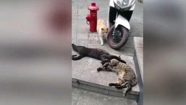 Когда застукали с любовником - смешное видео с котами - Sputnik Ўзбекистон