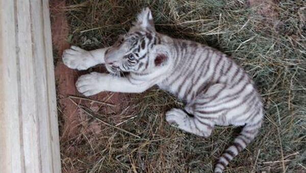 Краснодарскими таможенниками пресечена попытка незаконного перемещения через границу двух детенышей леопарда и одного бенгальского тигренка - Sputnik Узбекистан