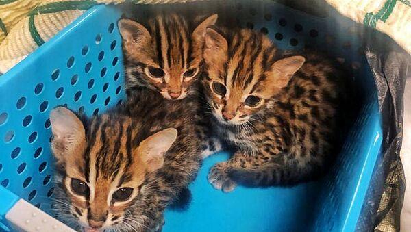 Азиатских леопардовых кошек и орангутанов изъяли таможенники в Москве - Sputnik Узбекистан
