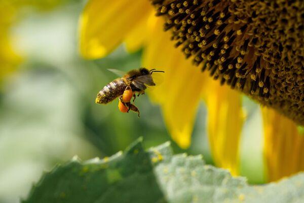 Пчела на цветке подсолнечника в Краснодарском крае - Sputnik Узбекистан