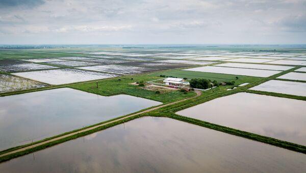 Выращивание риса в Краснодарском крае - Sputnik Ўзбекистон
