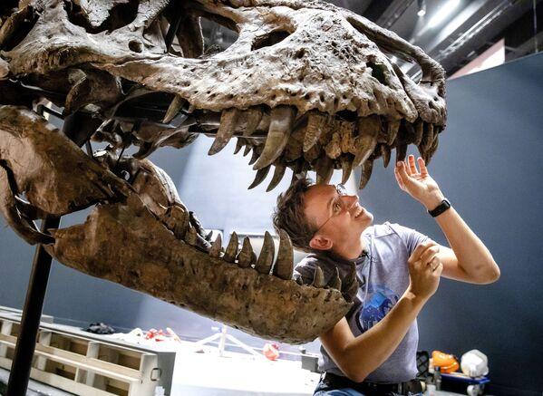 Палеонтолог Anne Schulp во время реконструкции скелета Тираннозавра Рекса в музее Натуралис голландского города Лейден - Sputnik Узбекистан