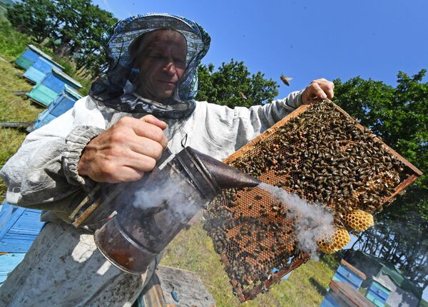 Пчеловод Сергей Пальчук обкуривает рамку с сотами при помощи дымаря на пасеке в окрестностях села Раковка в Приморском крае - Sputnik Узбекистан
