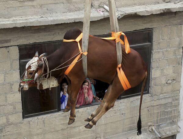 Транспортировка быка для продажи в преддверии праздника Курбан-байрам в Карачи, Пакистан - Sputnik Узбекистан