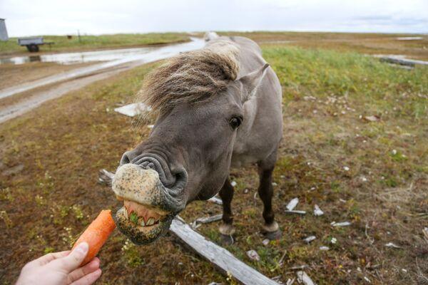 Дикая лошадь близ села Кашкаранцы Терского района в Мурманской области - Sputnik Узбекистан
