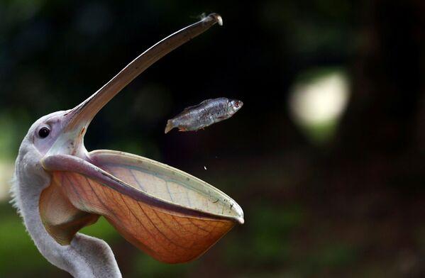 Пеликан ловит рыбу в парке Сент-Джеймс в Лондоне - Sputnik Узбекистан