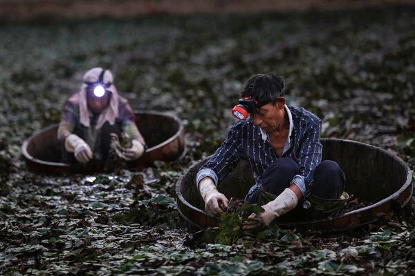 Фермеры собирают китайские водяные орехи недалеко от города Сяогань провинции Хубэй в Китае - Sputnik Узбекистан