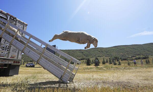 Овцы выпрыгивают из грузовика на чемпионате классических овчарок Soldier Hollow в США - Sputnik Узбекистан