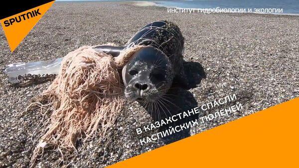 В Казахстане спасли каспийских тюленей - Sputnik Узбекистан