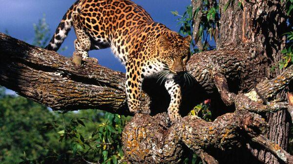Amurskiy leopard na dereve - Sputnik Oʻzbekiston