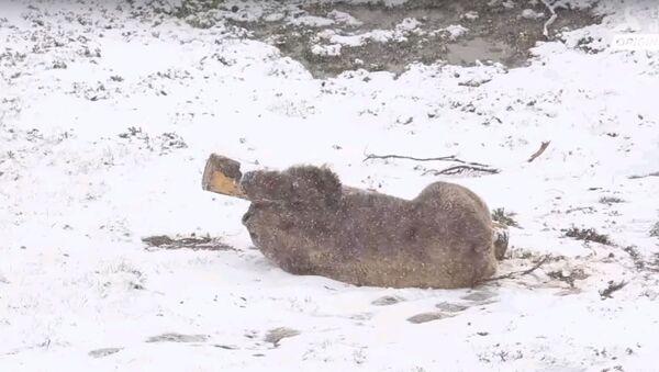 Медведь впервые увидел снег после жизни в клетке - трогательное видео - Sputnik Узбекистан