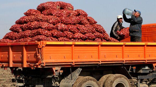 Сбор овощей в фермерском хозяйстве  - Sputnik Ўзбекистон