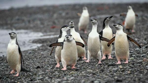 Антарктические пингвины на острове Кинг-Джордж (Ватерлоо) в Антарктиде. - Sputnik Узбекистан