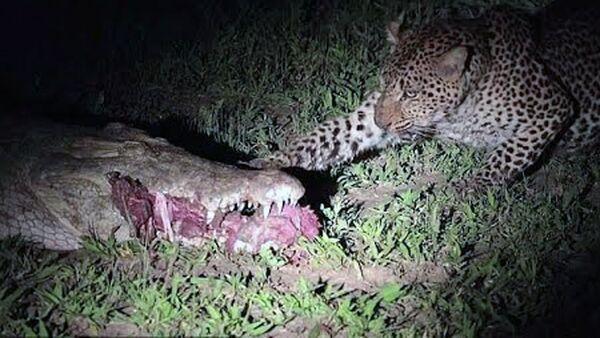 Смелый леопард вырывал мясо жертвы из пасти крокодила. - Sputnik Ўзбекистон