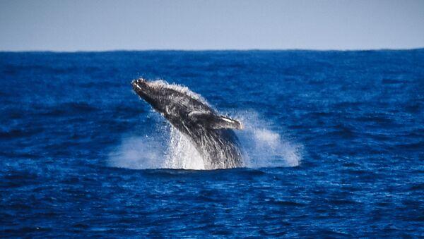 Горбатый кит в районе острова Аделейд  - Sputnik Ўзбекистон