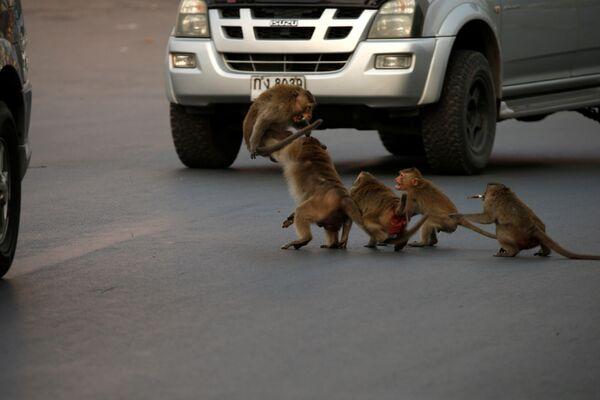Tailand, Lop Buri  avtomashina oldida maymunlar, 17.03.20   - Sputnik Oʻzbekiston