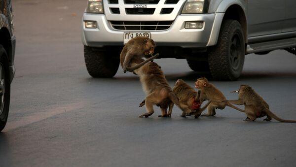 Обезьяны у машины в Лоп Бури, Таиланд  - Sputnik Ўзбекистон
