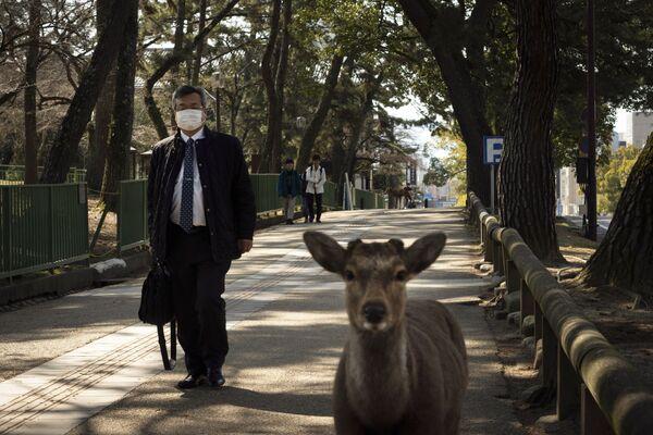 Yaponiyaning Nara shahrida kiyiklar paydo boʻldi, 17.03.20   - Sputnik Oʻzbekiston