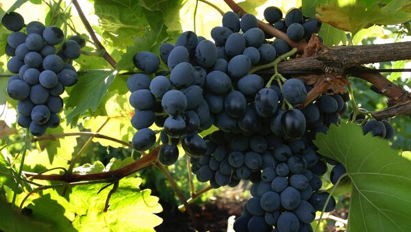 Сбор урожая винограда  - Sputnik Ўзбекистон