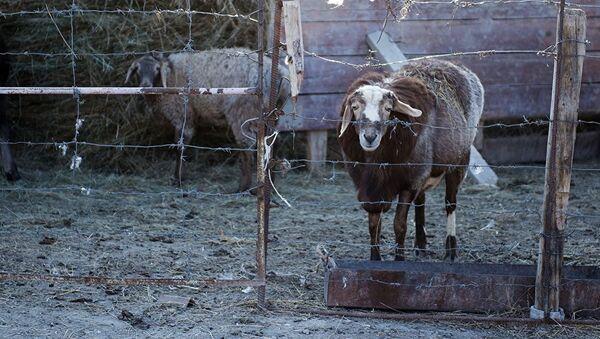Овцы в загоне - Sputnik Узбекистан
