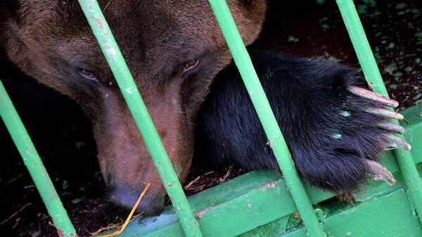 Бурый медведь в зоопарке - Sputnik Узбекистан