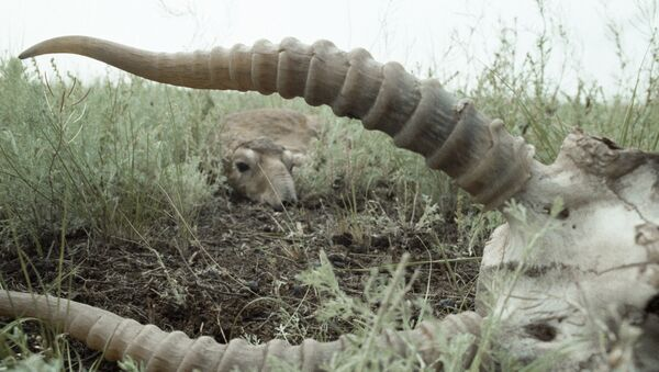 Сайгак лежит в траве неподалеку от останков другого сайгака - Sputnik Узбекистан