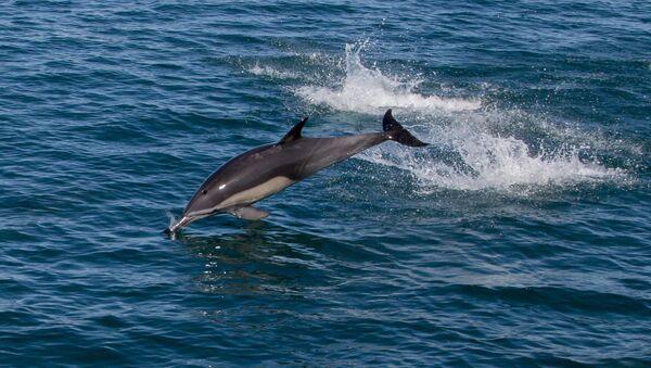 Delfin v more. Arxivnoye foto. - Sputnik Oʻzbekiston