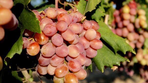 Сбор винограда - Sputnik Узбекистан
