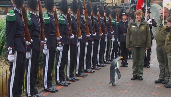 Нильс Улаф III лақабли пингвин Норвегия Қироллик Гвардияси пингвинига айланди - Sputnik Ўзбекистон
