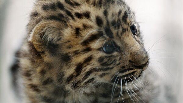Десять новых котят леопарда замечено в национальном парке РФ - Sputnik Ўзбекистон