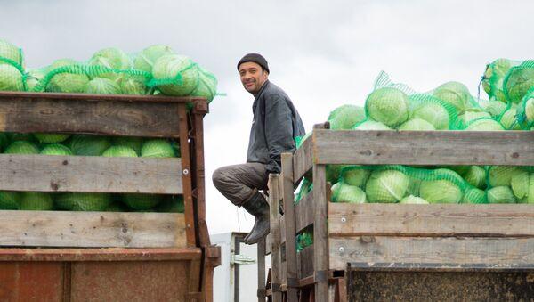 Погрузка урожая капусты - Sputnik Узбекистан