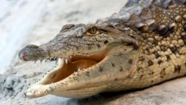 Крокодил в Ташкентском зоопарке - Sputnik Узбекистан