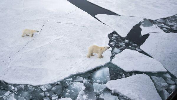 Белая медведица с медвежонком в районе архипелага Земля Франца Иосифа в Баренцевом море - Sputnik Ўзбекистон