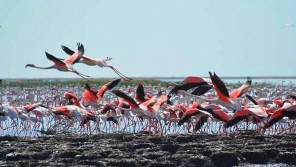Стаи фламинго на озере Судочье в Каракалпакстане - Sputnik Ўзбекистон