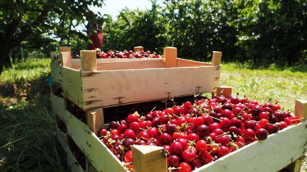 Сбор урожая черешни и вишни - Sputnik Ўзбекистон