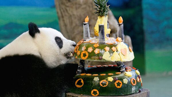 Тайпей зопаркида панда туғилган кунида муз ва мевалардан улкан торт пиширилди - Sputnik Ўзбекистон