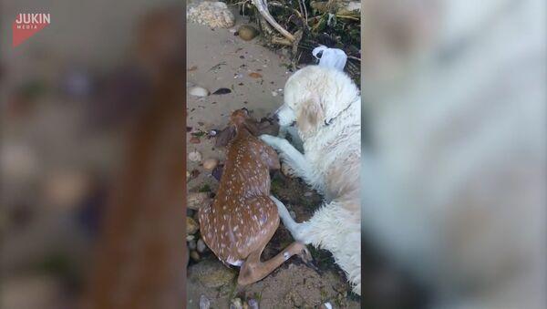 Собака спасла тонувшего олененка - Sputnik Узбекистан