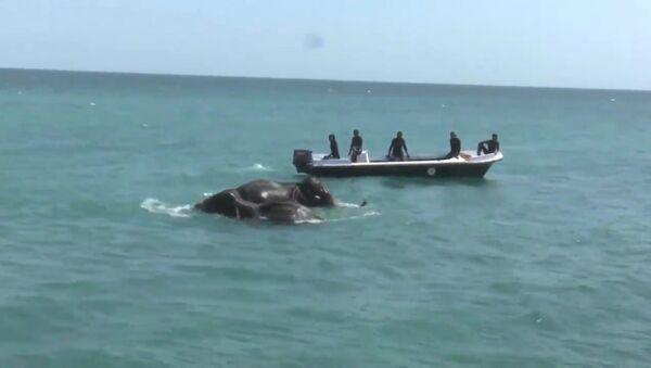 Спасение унесенных в море слонов у берегов Шри-Ланки. Кадры операции - Sputnik Узбекистан