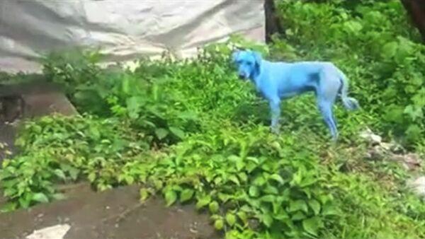 На улицах Мумбая появились голубые собаки - Sputnik Узбекистан