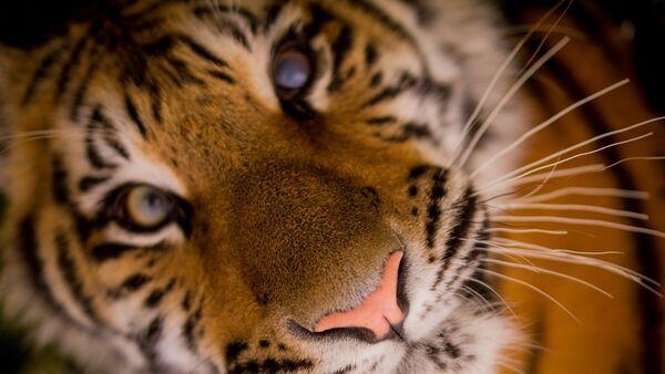 Тигр - Sputnik Узбекистан